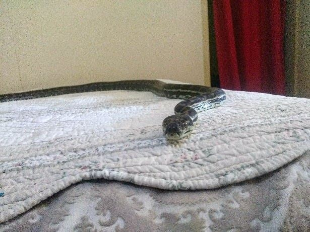 An Enormous Python Fell From an Australian Family's Ceiling and Landed on a Bed