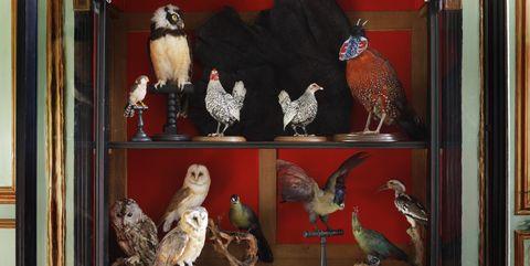 Display case, Collection, Rooster, Bird, Galliformes, Furniture, Chicken, Art, Display window, Antique,