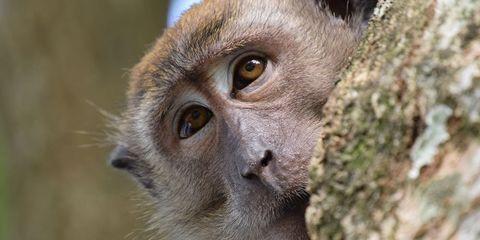 monkey male birth control