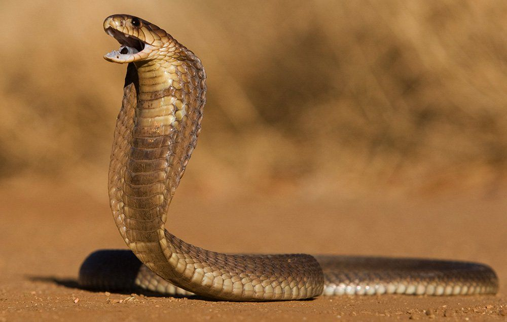 Close Your Windows and Lock Your Doors Because This Horrifying Cobra Just Broke Into a House
