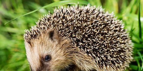 hedgehogs want you take prediabetes test