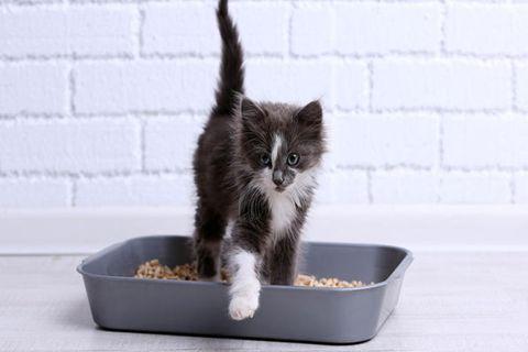 litter box kitten