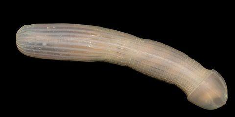 peanut worm penis