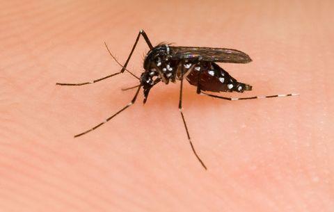 Mosquito Researcher