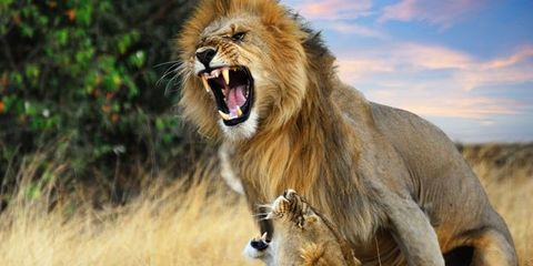 Lion, Roar, Masai lion, Vertebrate, Organism, Big cats, Tongue, Plant community, Felidae, Tooth,