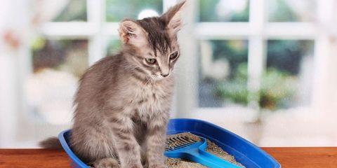 Vertebrate, Whiskers, Felidae, Carnivore, Cat, Small to medium-sized cats, Pet supply, Cat supply, Animal feed, Hardwood,