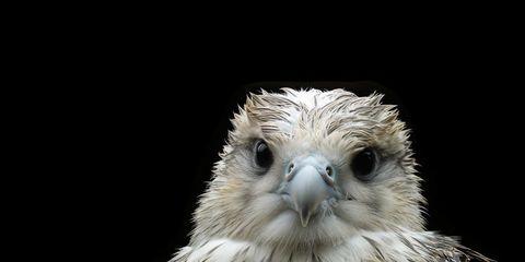 A bald eagle chick