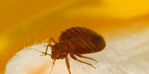 Bed bug insecticide resistance