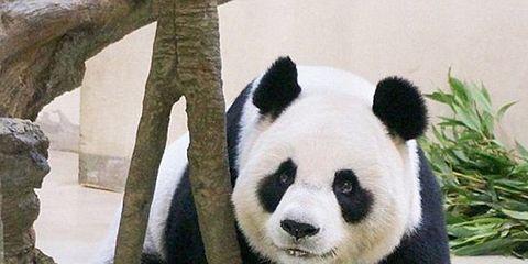 fake-preggo-panda.jpg