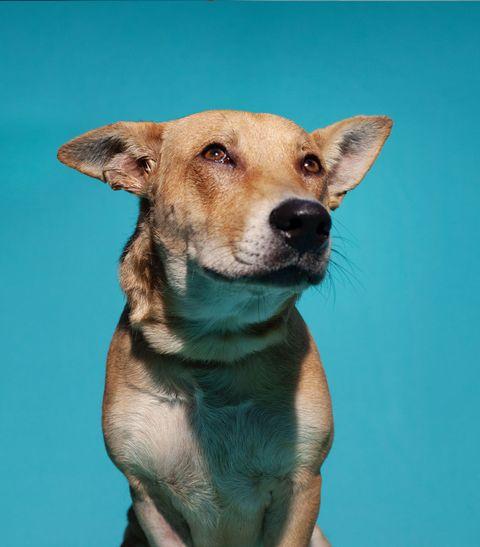 Mammal, Dog, Vertebrate, Dog breed, Canidae, Carnivore, Snout, Nose, Potcake dog, Carolina dog,