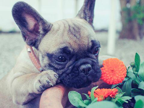 Dog, Mammal, Vertebrate, Canidae, Dog breed, French bulldog, Bulldog, Snout, Companion dog, Puppy,