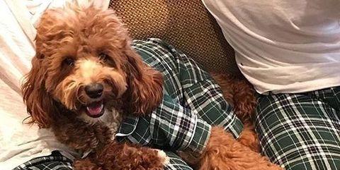 Dog, Canidae, Dog breed, Pattern, Companion dog, Tartan, Cockapoo, Design, Plaid, Carnivore,