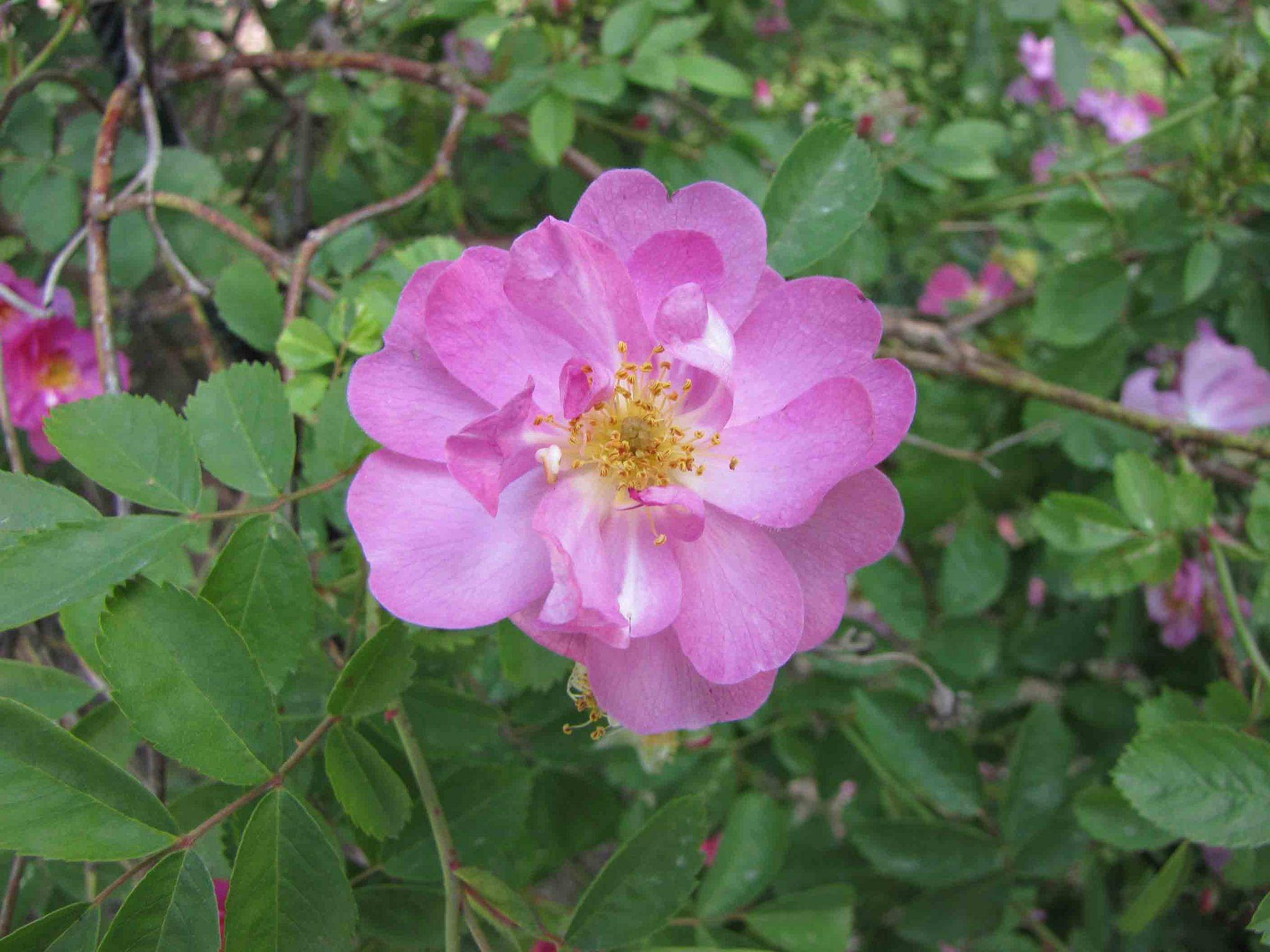 31. Wild Prairie Rose - North Dakota