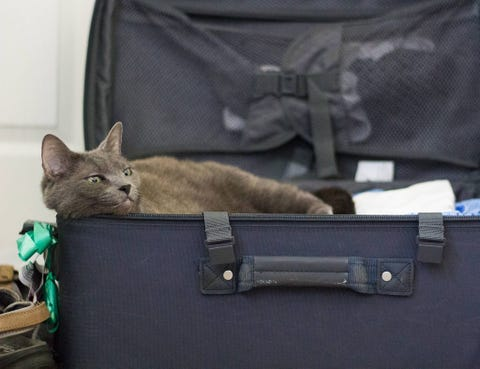 Cat, Felidae, Small to medium-sized cats, Russian blue, Baggage, Suitcase, Bag, Carnivore, Whiskers, Korat,