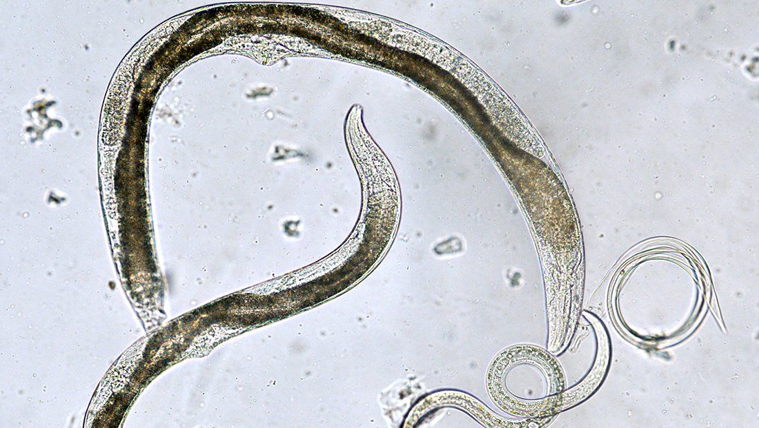 What Are Nematodes These Tiny Worms Can Help Or Hurt Your