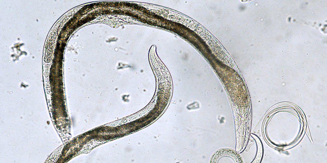 nematod uman adult uri dacia plant