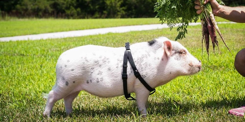 What It's Like Having a Mini Pet Pig - Caring for Miniature Pigs