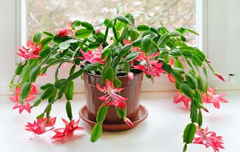 How To Care For Christmas Cactus Indoors Christmas Cactus Plant