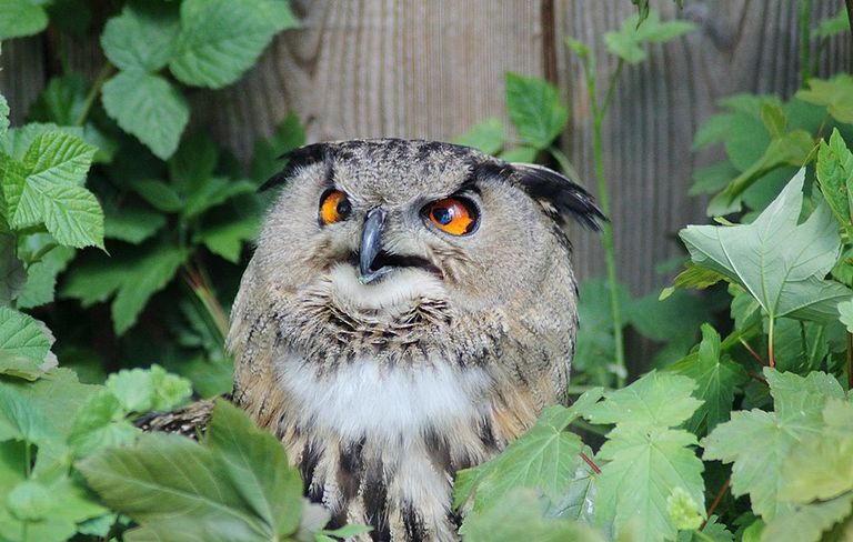 attracting owls to backyard - Picture Of Owl