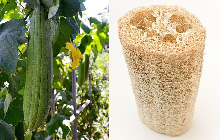 How To Grow Your Own Loofah Sponge Rodale S Organic Life