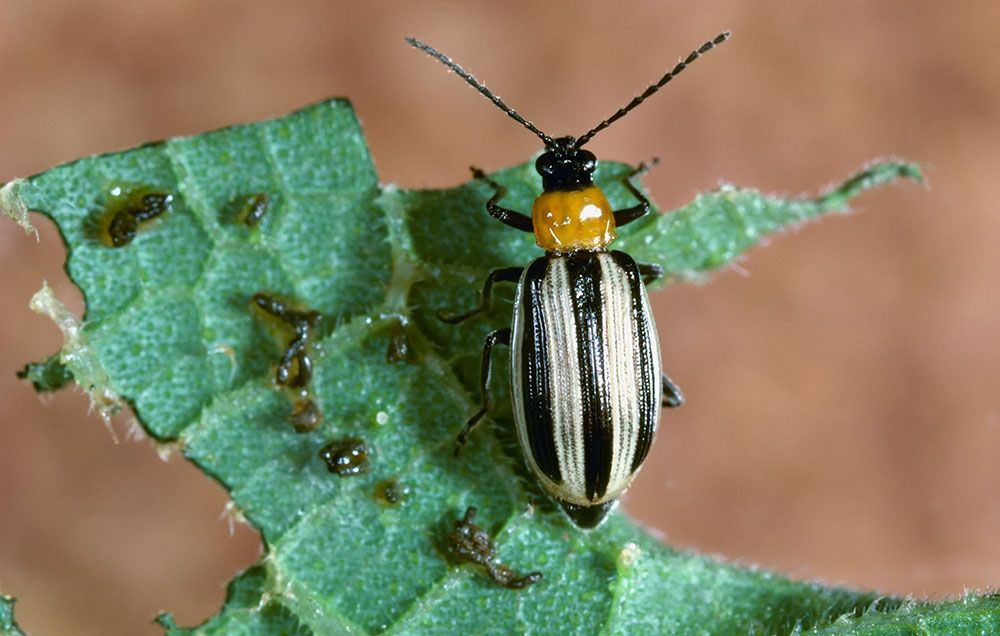 How To Control Pesky Cucumber Beetles In Your Garden