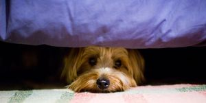 anxious pet under bed