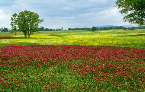 clover cover crop - Garden Cover