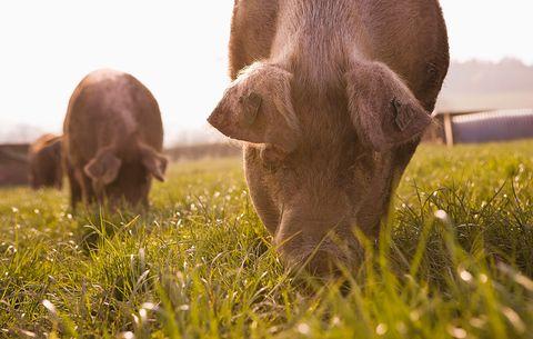 pasture raised pigs