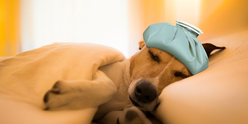 Can Dogs Get Winter Illnesses Like A Cold Or The Flu?