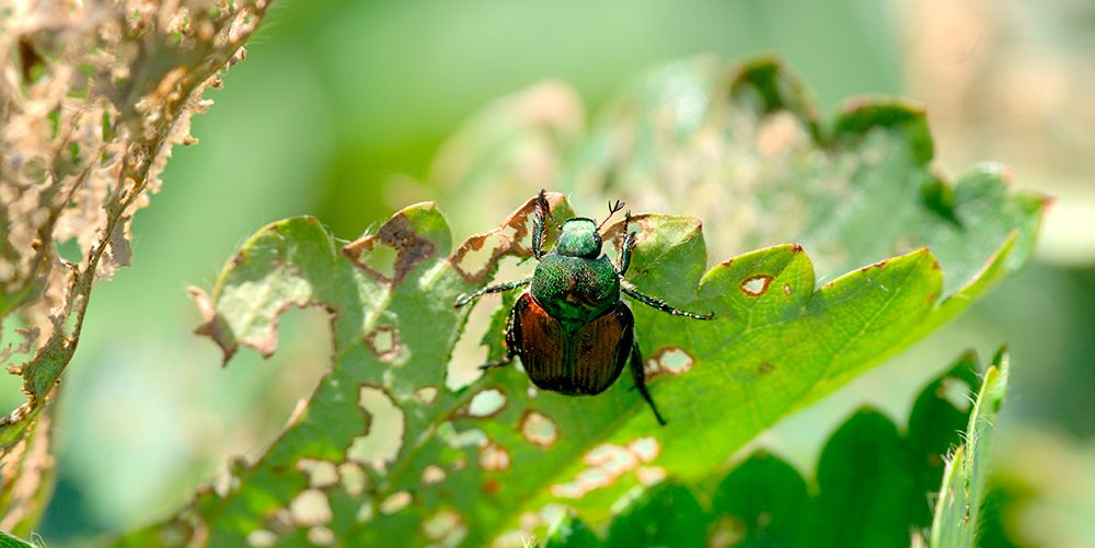 How to Defend Your Garden Against Japanese Beetles
