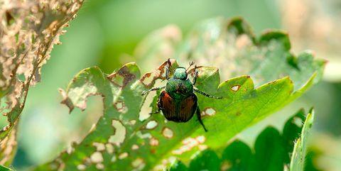 japanese beetle destroying garden