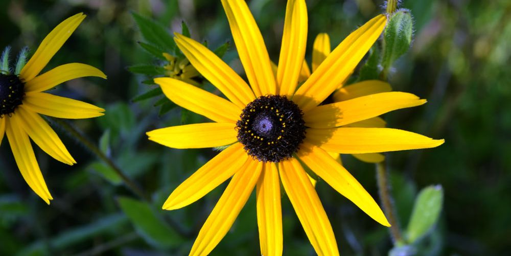 A Quick Guide to Growing Stunning Black-Eyed Susans