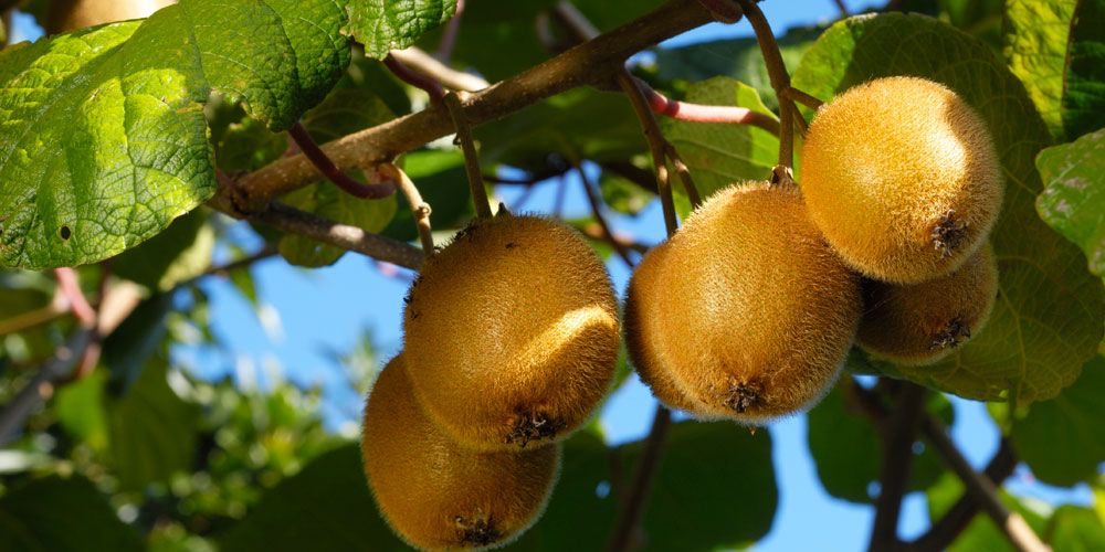 How To Grow Your Own Kiwis In Your Backyard