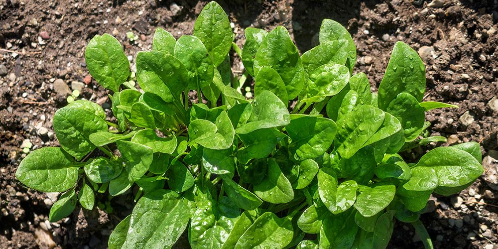How to Grow the Tastiest Spinach Ever