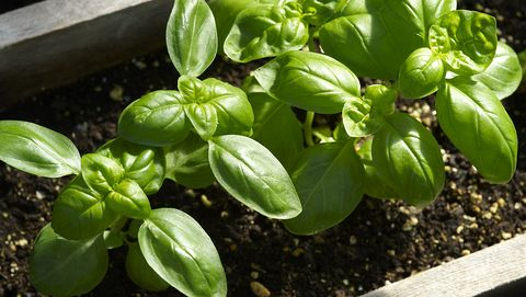 8 Plants That Repel Mosquitoes - Natural Mosquito Repellent