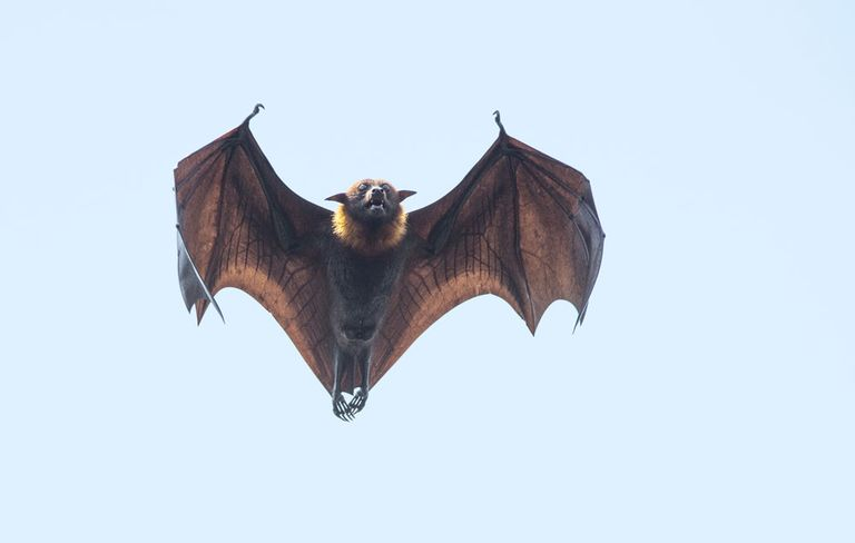 bat flying - Picture Of A Bat