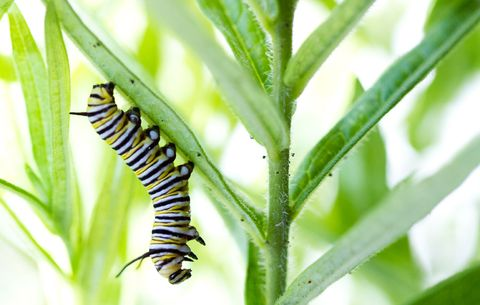 Butterfly Bushes — 3 Reasons to Never Plant a Butterfly Bush