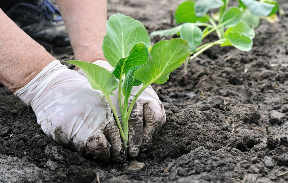 cabbage is one of the easiest vegetables to grow in your garden