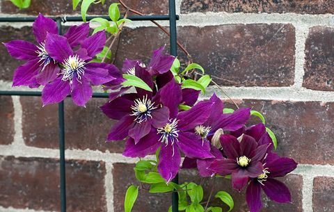 Plant Clematis Near A Wall Where You Can Easily Lean Trellis