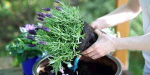 planting lavender in container
