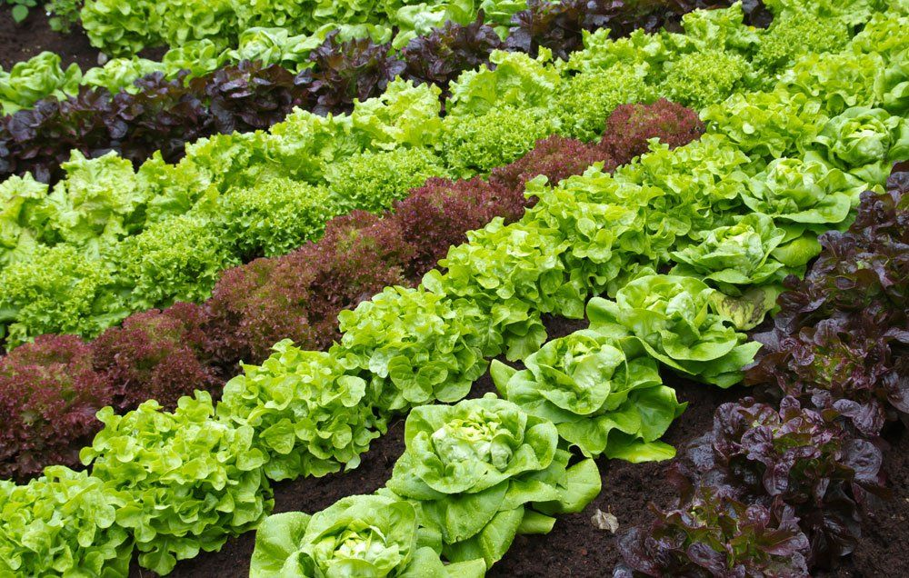 Rows Of Lettuce For Crop Rotation