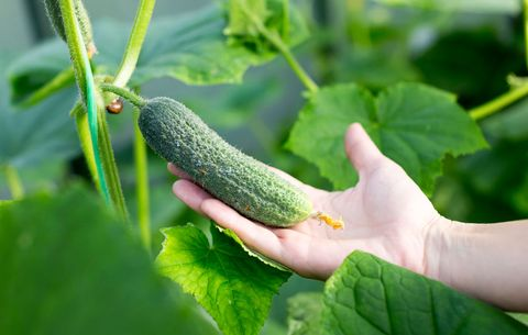Everything You Need To Know About Growing Cucumbers How To Plant