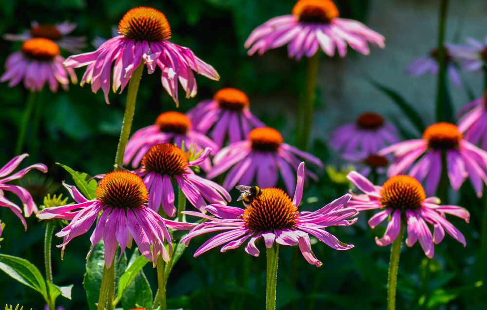 How To Grow Echinacea Growing Coneflowers