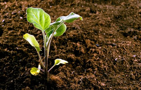 How to Grow Eggplant - Tips for Planting Eggplant
