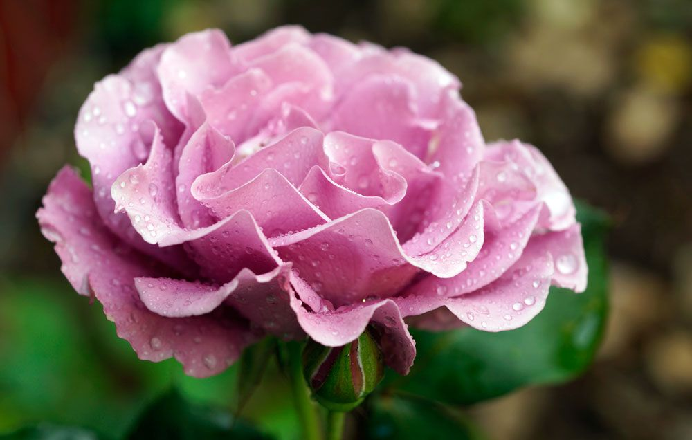 The 60 Most Fragrant Flowers Across The World Rodales Organic Life