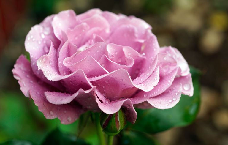The 60 most fragrant flowers across the world rodales organic life rose mightylinksfo Image collections