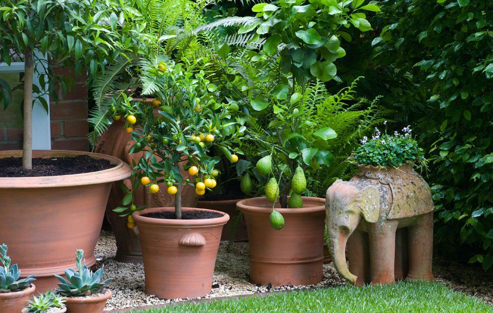Fruit Trees In Pots