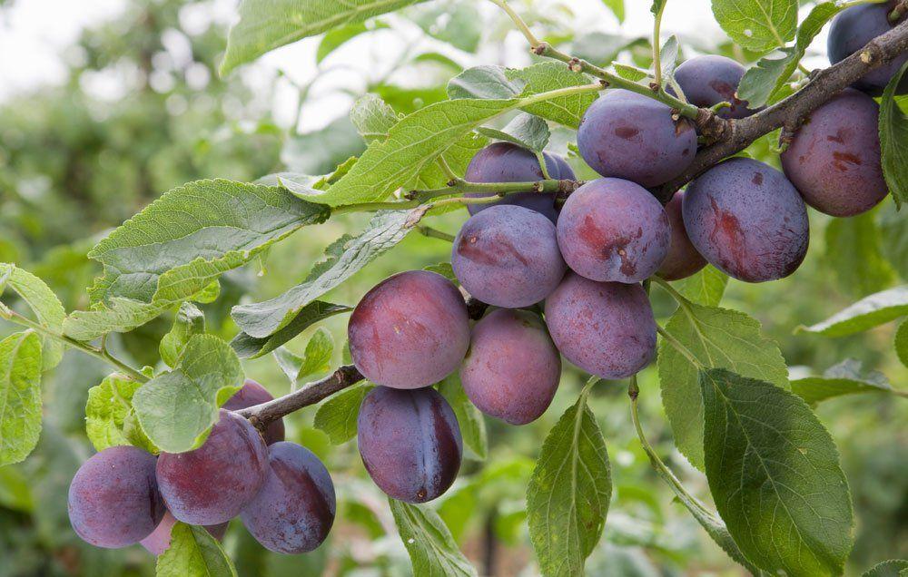 San antonio fruit tree giveaway