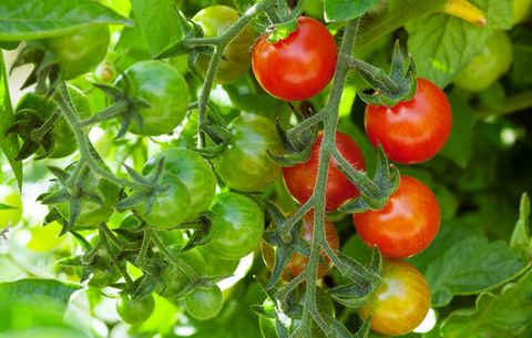 How to Grow Cherry Tomatoes - Planting and Harvesting Cherry