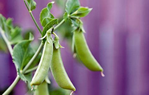 growing peas - Garden Peas